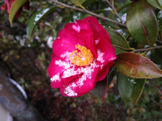 椿につもる雪