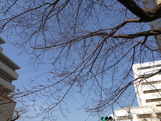 BOMA FENTEで聖蹟桜ヶ丘に行ったときの聖蹟桜ヶ丘駅前にあるまだつぼみも小さい桜の樹の写真